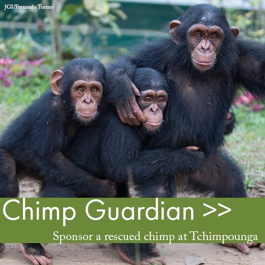 Become a Chimp Guardian!